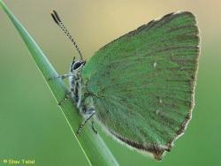 כחליל הרקולס  Callophrys herculeane