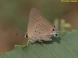 כחליל הרימון,      Deudorix livia