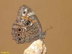 סטירית אנטולית, Kirinia roxelana