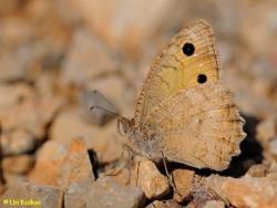 סטירית הלבנון, Pseudochazara pelopea
