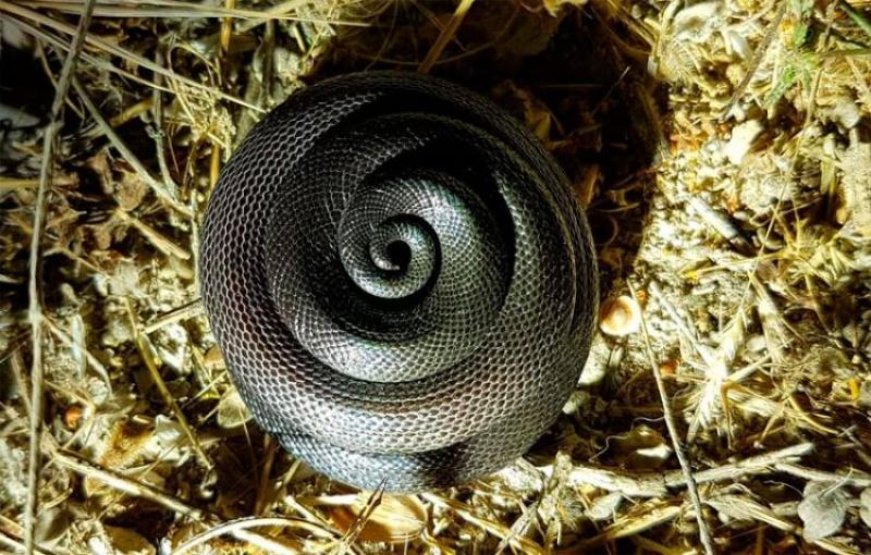 צפעון שחור Atractaspis engaddensis