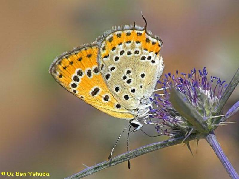 כחליל החומעה, Lycaena thersamon