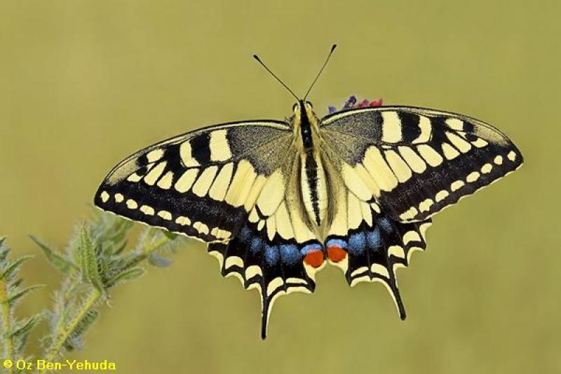 זנב סנונית נאה  Papilio machaon