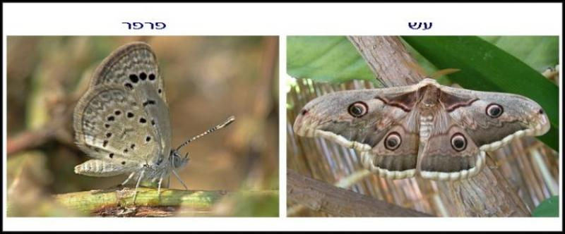 כנף עש כנף פרפר