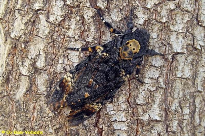 רפרף גולגולת המת ,,Acherontia atropos
