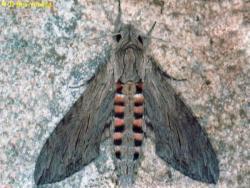 רפרף החבלבל, Agrius convolvuli