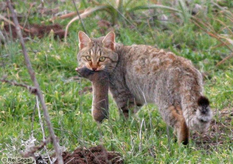 חתול בר (Felis silvestris)