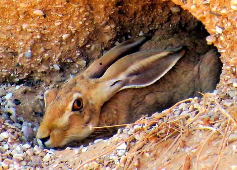 ארנבת מצויה, Lepus capensis