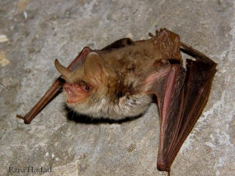 נישפון דק אוזן, Myotis nattereri