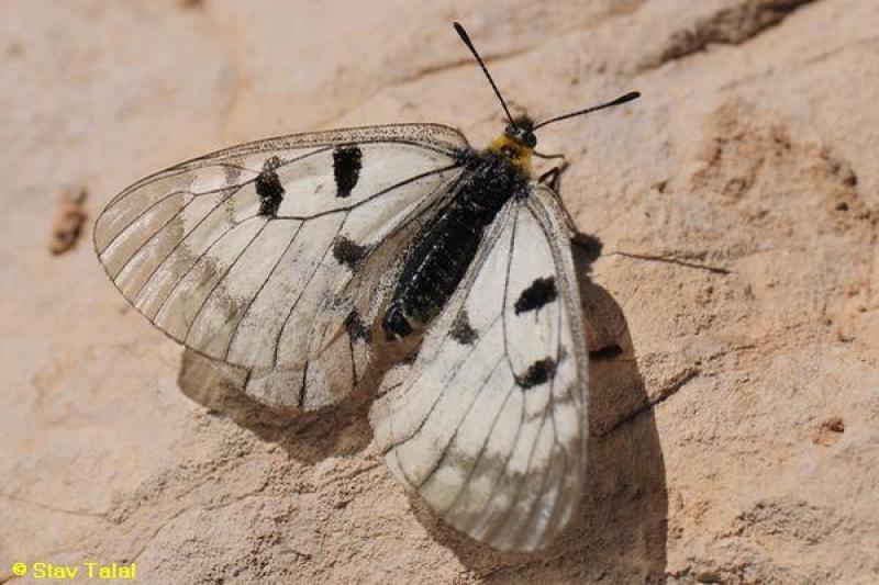צבעוני החרמון, Parnassius mnemosyne