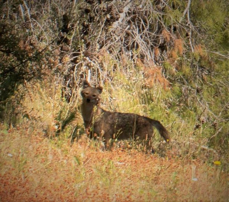 תן זהוב (Canis aureus)