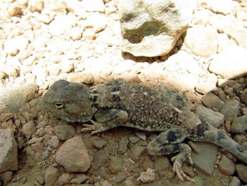 חרדון מדבר, Trapelus pallidus