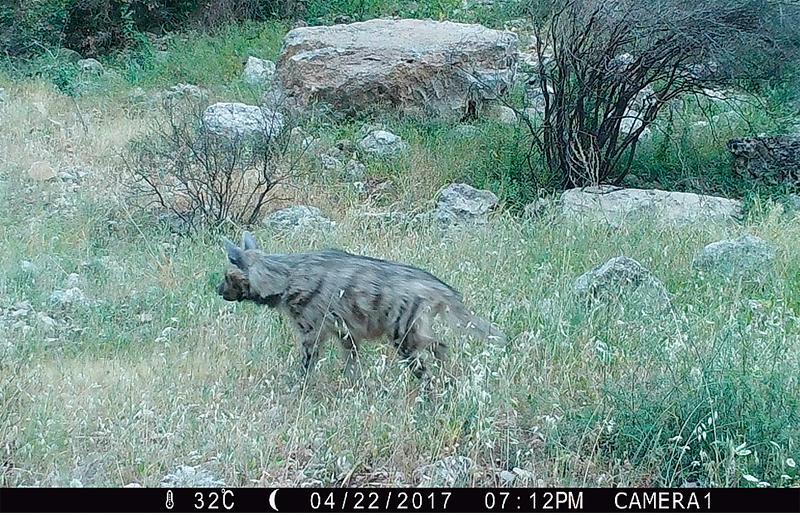 צבוע מפוספס, Hyaena hyaena