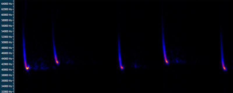 קולות עטלפון לבן שוליים (Pipistrellus kuhlii)