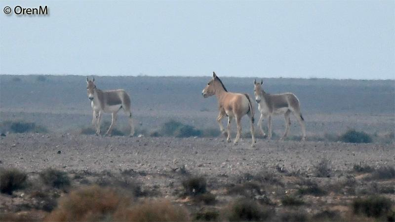 פרא (Equus hemionus)