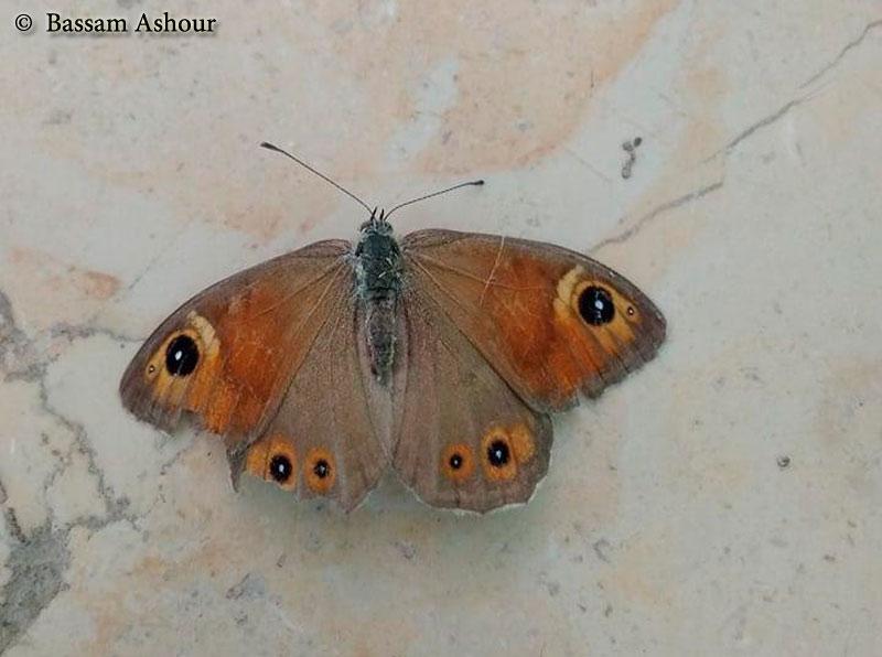 חומית (סטירית) היבלית Lasiommata maera