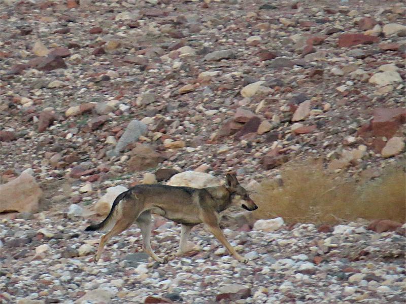 זאב מצוי, Canis lupus