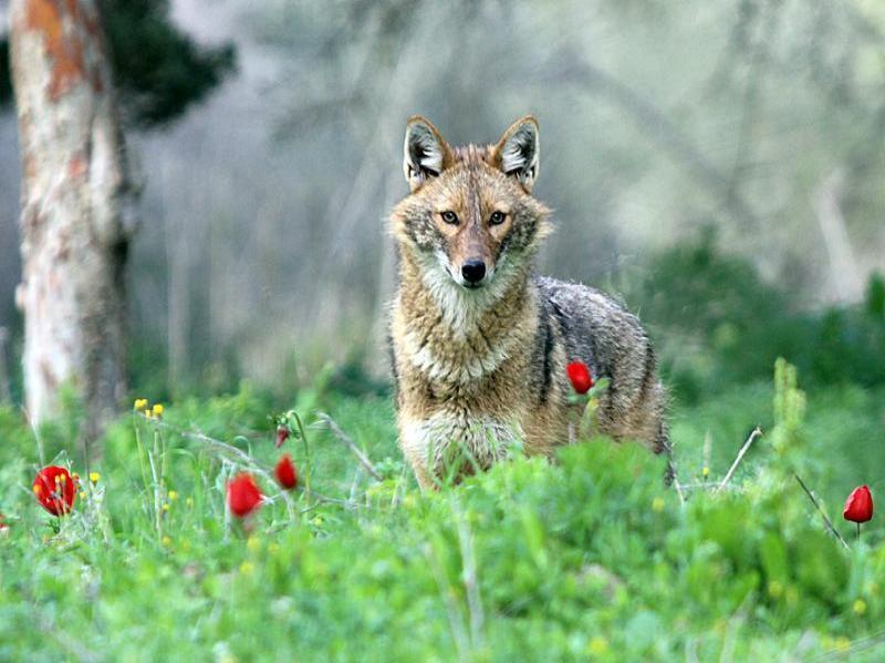תן זהוב Canis aureus