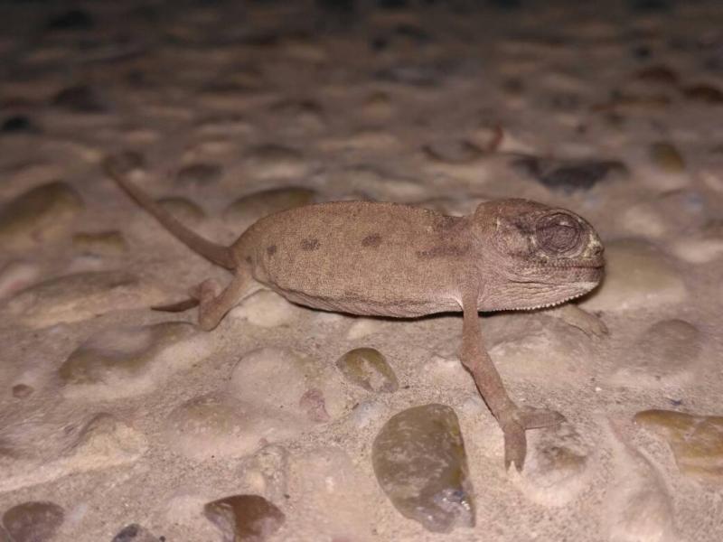 זיקית מובהקת Chamaeleo chamaeleon