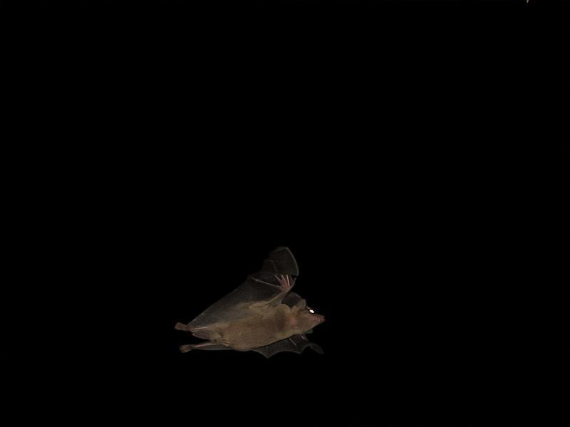 עטלף פרי מצוי  Rousettus aegyptiacus