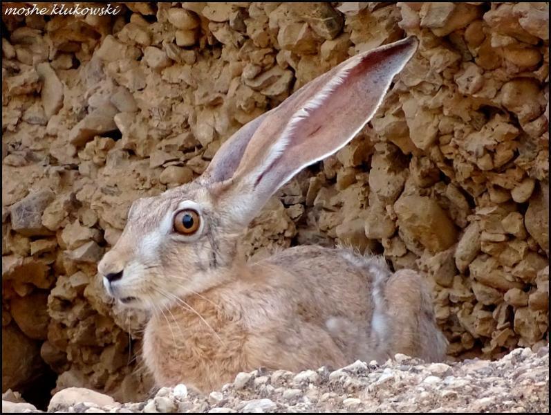 ארנבת Lepus capensis