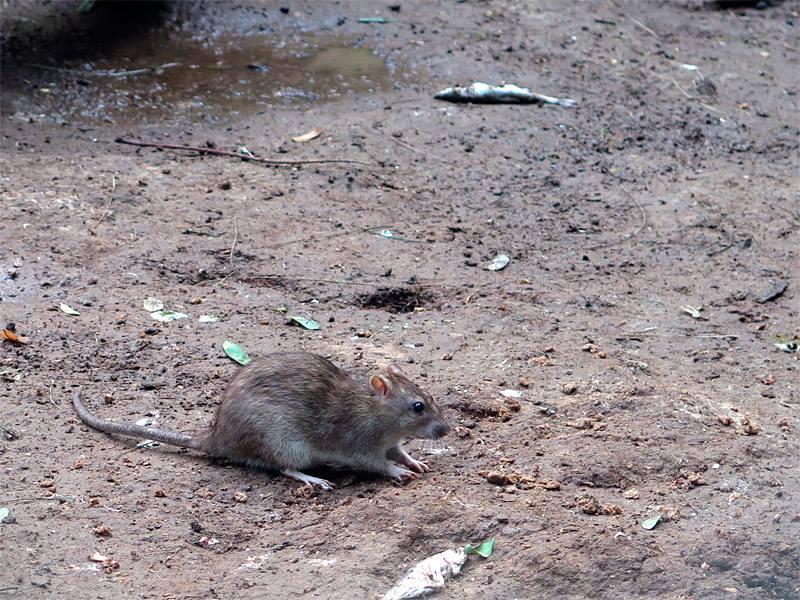 חולדת חוף (Rattus norvegicus)