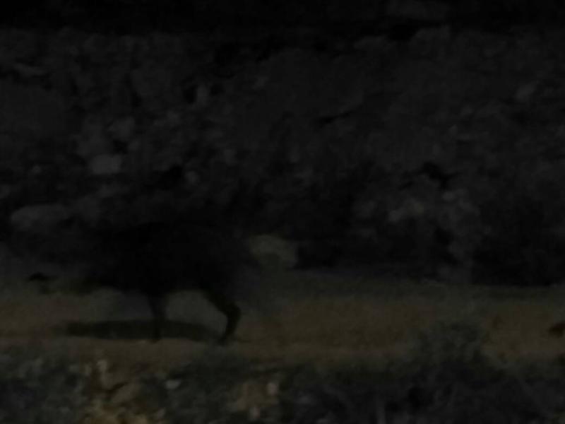 חזיר בר Sus scrofa